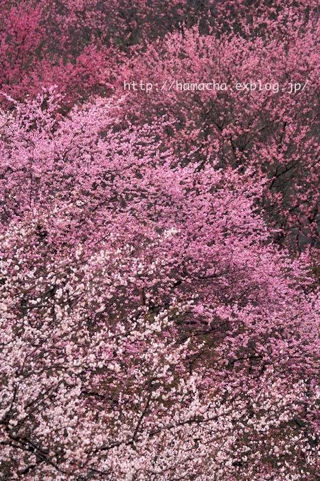 Japanese Apricot Garden_c0158775_20125253.jpg