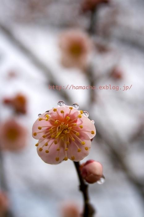 Japanese Apricot Garden_c0158775_20132925.jpg