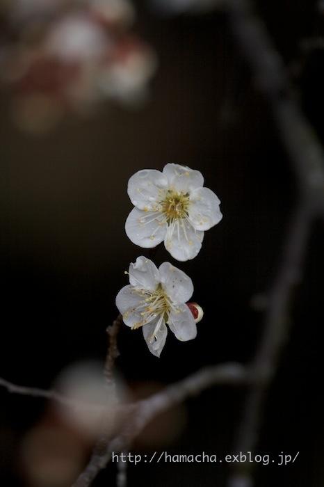 Japanese Apricot Garden_c0158775_2014536.jpg
