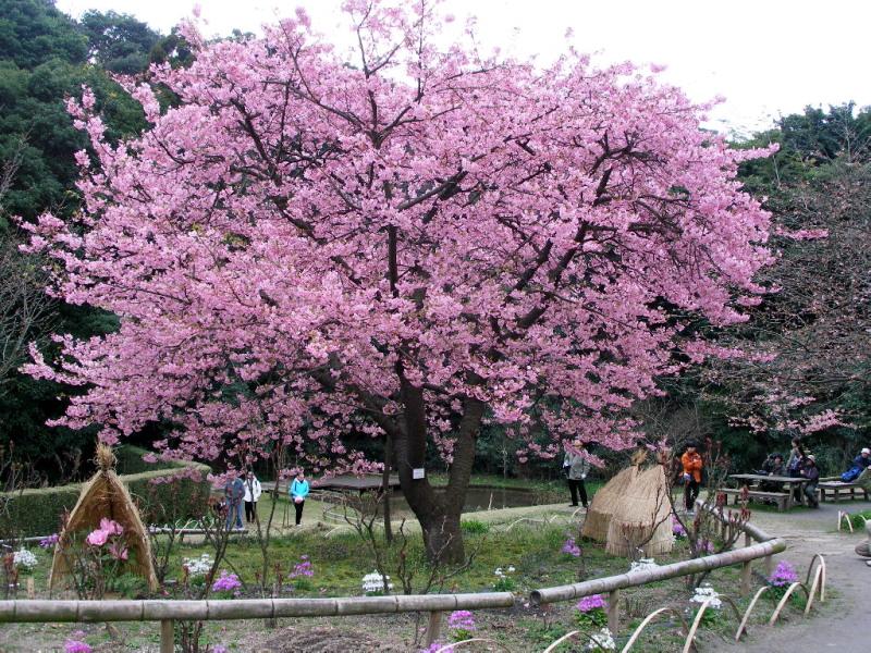 白野江植物公園では河津桜が満開_c0036203_18345866.jpg