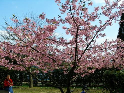 白野江植物公園では河津桜が満開_c0036203_1839479.jpg