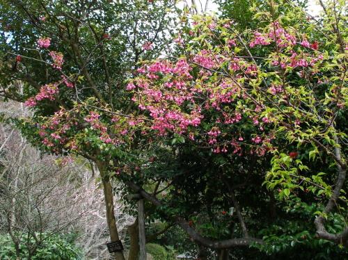 白野江植物公園では河津桜が満開_c0036203_18414070.jpg
