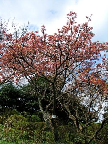 白野江植物公園では河津桜が満開_c0036203_18422817.jpg