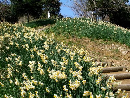 白野江植物公園では河津桜が満開_c0036203_1849515.jpg