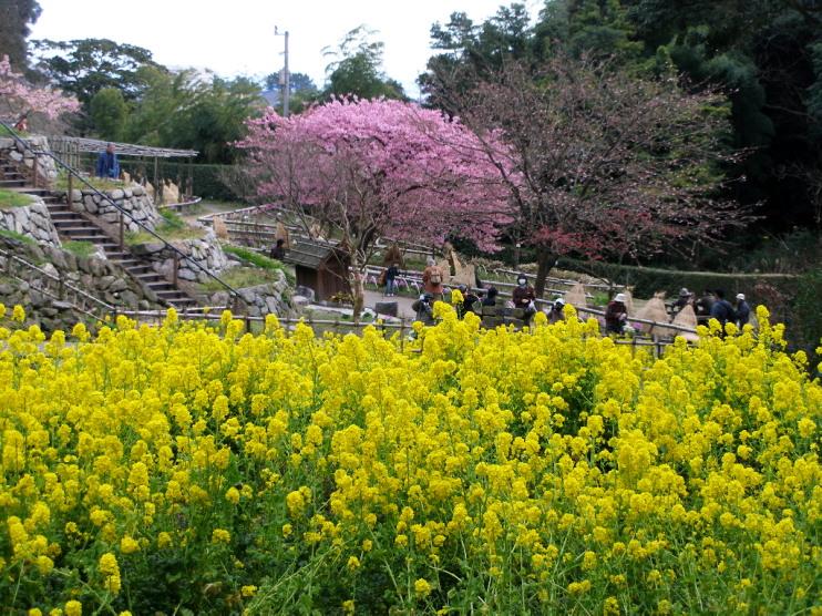 白野江植物公園では河津桜が満開_c0036203_18532122.jpg
