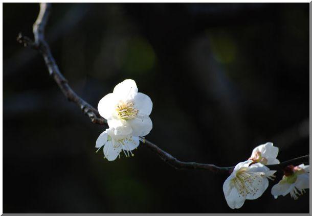 紅梅・白梅(横浜三渓園)_d0123528_12541626.jpg