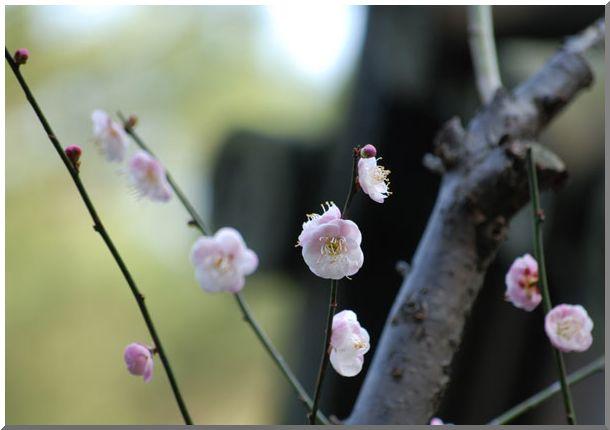 紅梅・白梅(横浜三渓園)_d0123528_1302290.jpg