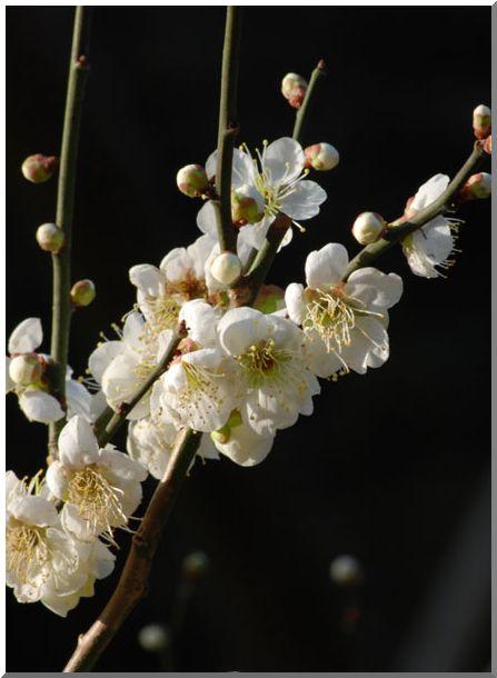 紅梅・白梅(横浜三渓園)_d0123528_134651.jpg