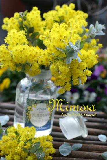 mimosa_f0127281_23374031.jpg