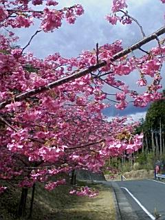 河津桜_e0013178_21303120.jpg