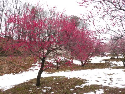 雪と梅の里_f0019247_22351849.jpg