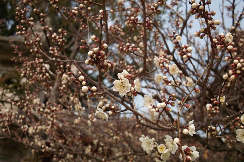 梅の季節ですね。_b0125014_12403626.jpg