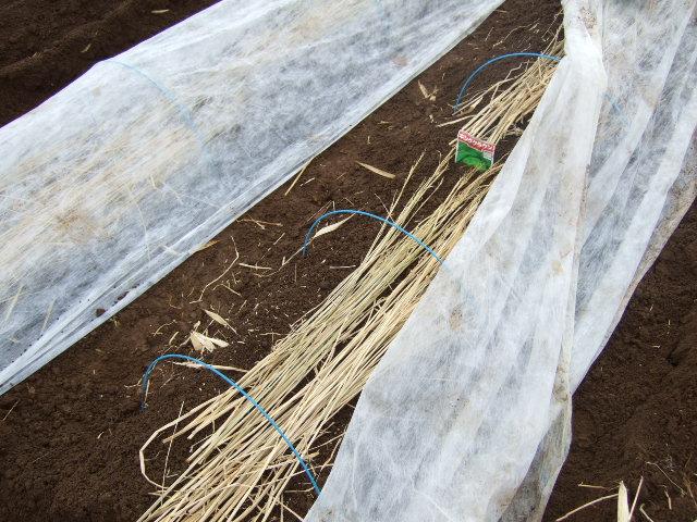 雪の中ジャガイモの植え付け......._b0137932_18354531.jpg
