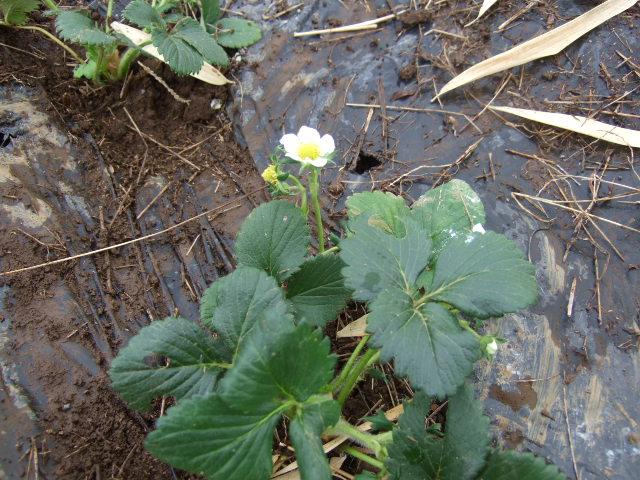 雪の中ジャガイモの植え付け......._b0137932_18355920.jpg