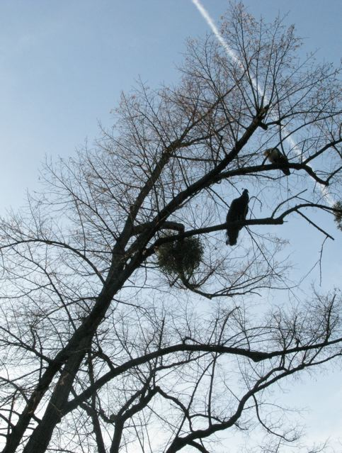樹の上で眠るクジャクが島に(ブローニュの森ーパリ)_f0119071_1825012.jpg