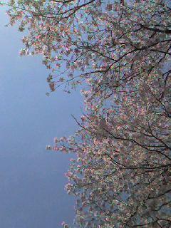 桜開花予想/ Cherry blossom_d0090888_23451229.jpg