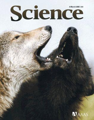 黒いハイイロオオカミはイヌから遺伝子を受け継いだ_c0025115_19232288.jpg