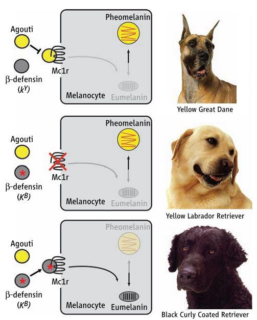黒いハイイロオオカミはイヌから遺伝子を受け継いだ_c0025115_19305839.jpg