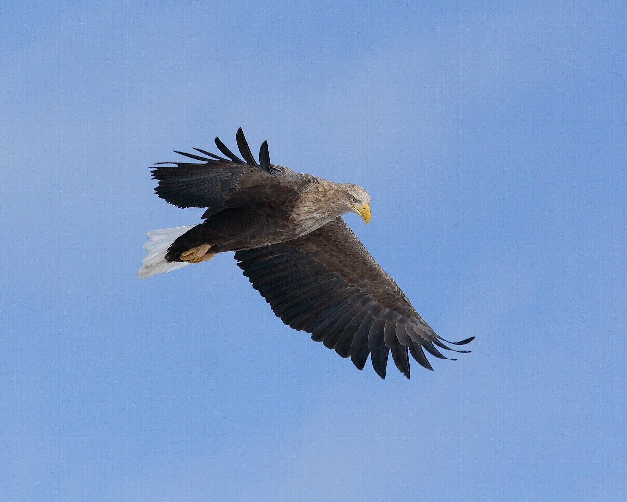 まだまだあります、青空を豪快に飛ぶオジロワシ_f0105570_22122918.jpg
