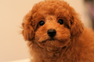 ☆toy poodle☆ puppy ☆_d0060413_11534752.jpg