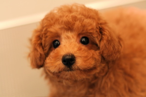 ☆toy poodle☆ puppy ☆_d0060413_11543127.jpg