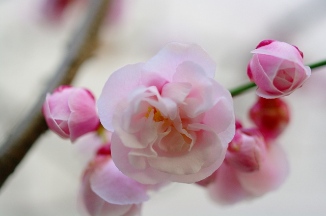 梅の香り2_f0050534_0415214.jpg