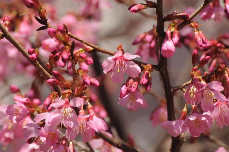 おかめ桜の花も満開@散歩_d0056382_01744.jpg