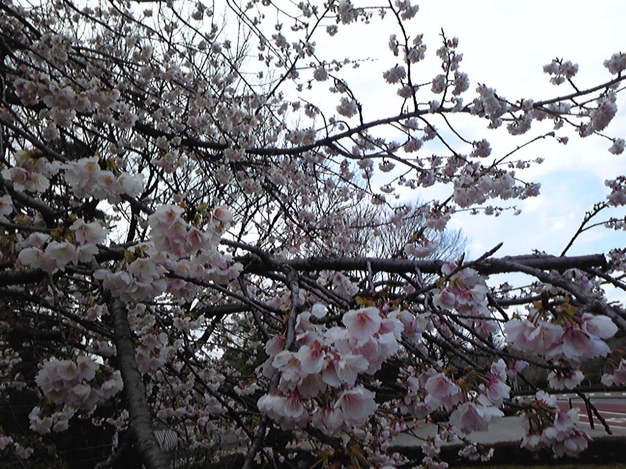 満開の桜!_e0142585_14163514.jpg