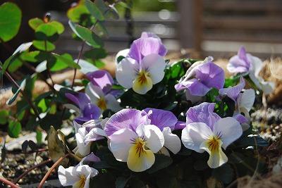 こぼれ種から咲いたパンジー、ビオラ_c0124100_13531826.jpg