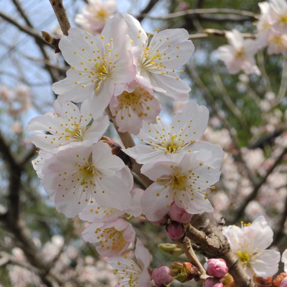 桜咲き春がきた_f0099102_0535419.jpg