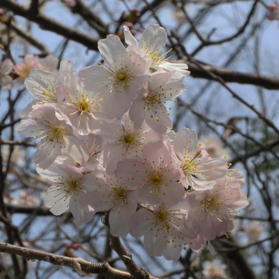 桜咲き春がきた_f0099102_054510.jpg