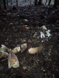 しばらく、鳴りをひそめていたイノシシが、またしてもタケノコ堀をはじめた。... 猪鹿(害獣)との