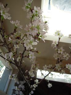 carbon...桜満開!!_f0190816_1512536.jpg