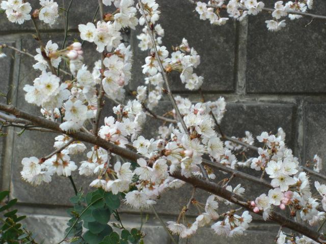 桜満開?!(^^♪_c0169360_8522866.jpg