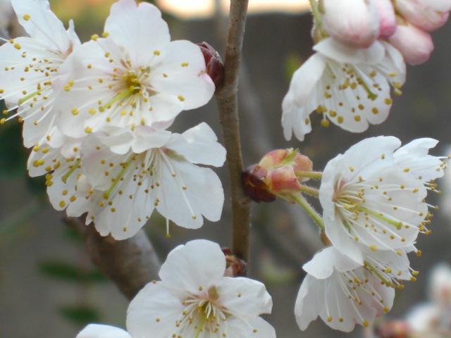 桜満開?!(^^♪_c0169360_85231.jpg