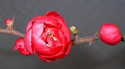 桃の花_f0139963_7125543.jpg