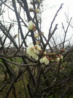 梅の花_e0063268_2262645.jpg