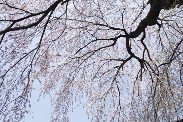 神宮寺の枝垂桜_f0091207_11253111.jpg