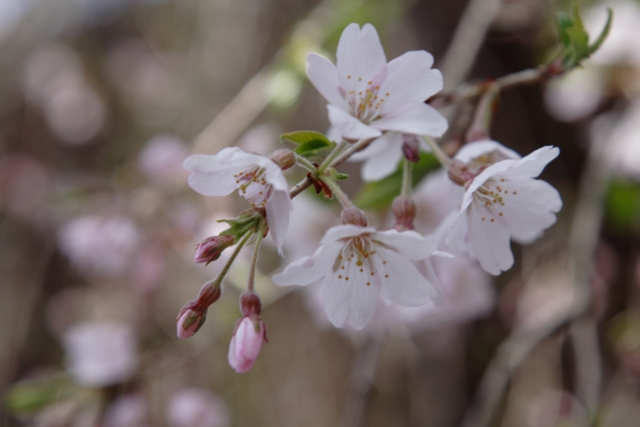 神宮寺の枝垂桜_f0091207_11255796.jpg