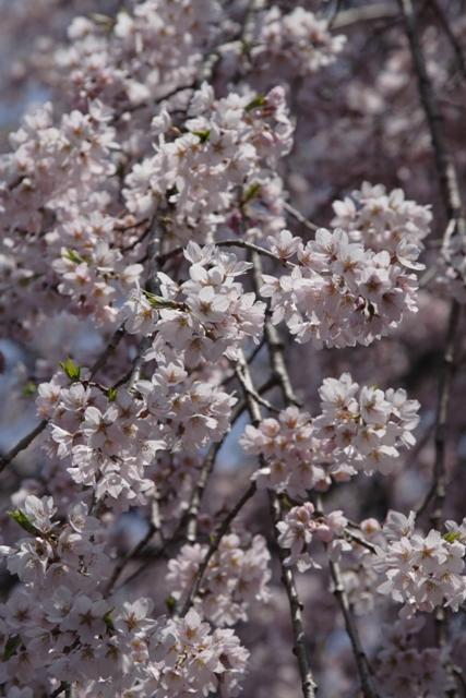 神宮寺の枝垂桜_f0091207_11262477.jpg