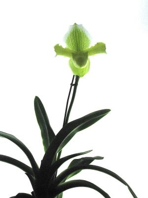 今年も元気!温室を彩るパフィオの開花_e0010418_1347064.jpg