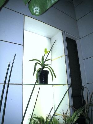 今年も元気!温室を彩るパフィオの開花_e0010418_13471019.jpg