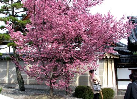 長徳寺 早咲き桜_e0048413_2315427.jpg