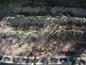 ネギ苗植え付けとトマト種まき_e0097534_11285981.jpg