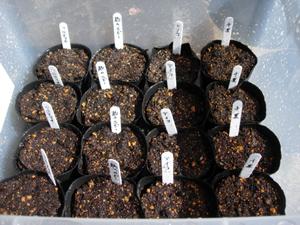 ネギ苗植え付けとトマト種まき_e0097534_11305518.jpg