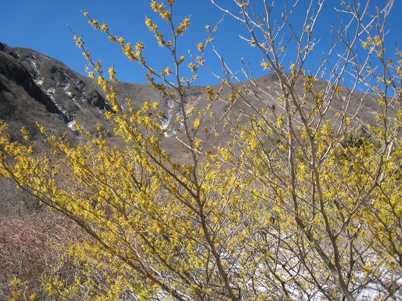 春を告げる花 マンサク_b0161750_229674.jpg