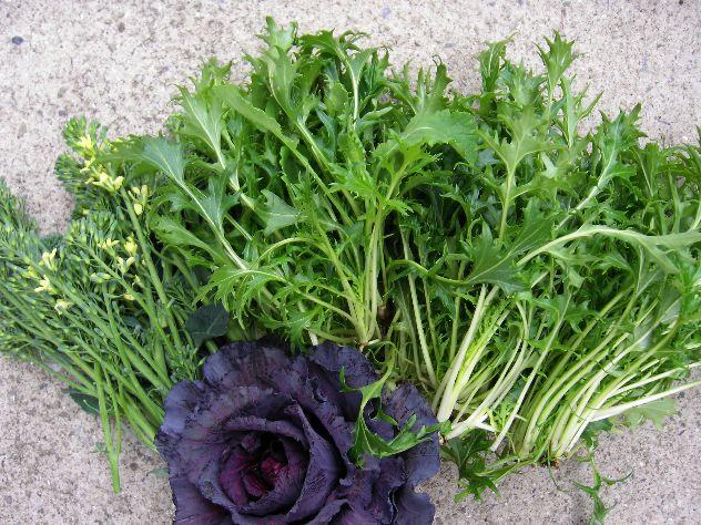 水菜と紫キャベツの収穫_c0053863_21103829.jpg