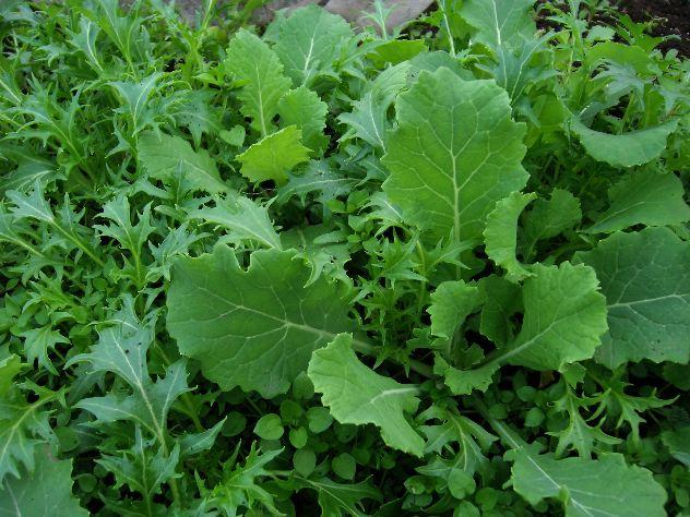 水菜と紫キャベツの収穫_c0053863_21113316.jpg