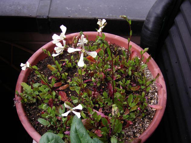 水菜と紫キャベツの収穫_c0053863_211338.jpg