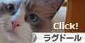 にほんブログ村 猫ブログ ラグドールへ